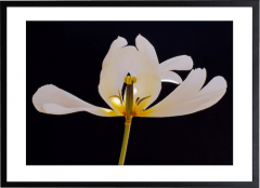 Tulip #1